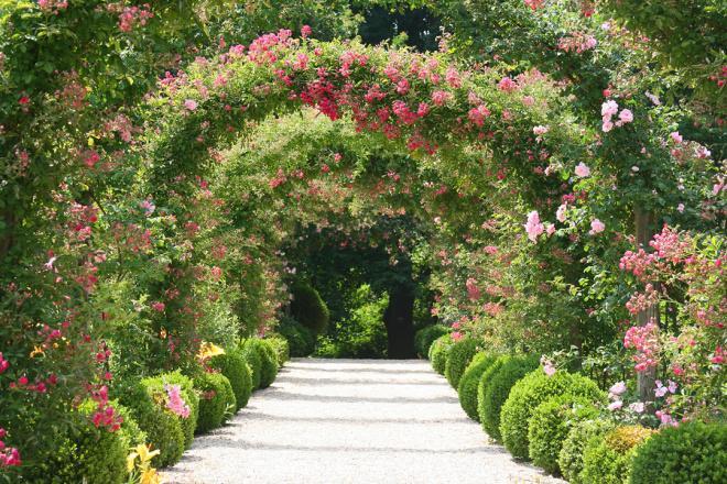 popínavé růže pěstování